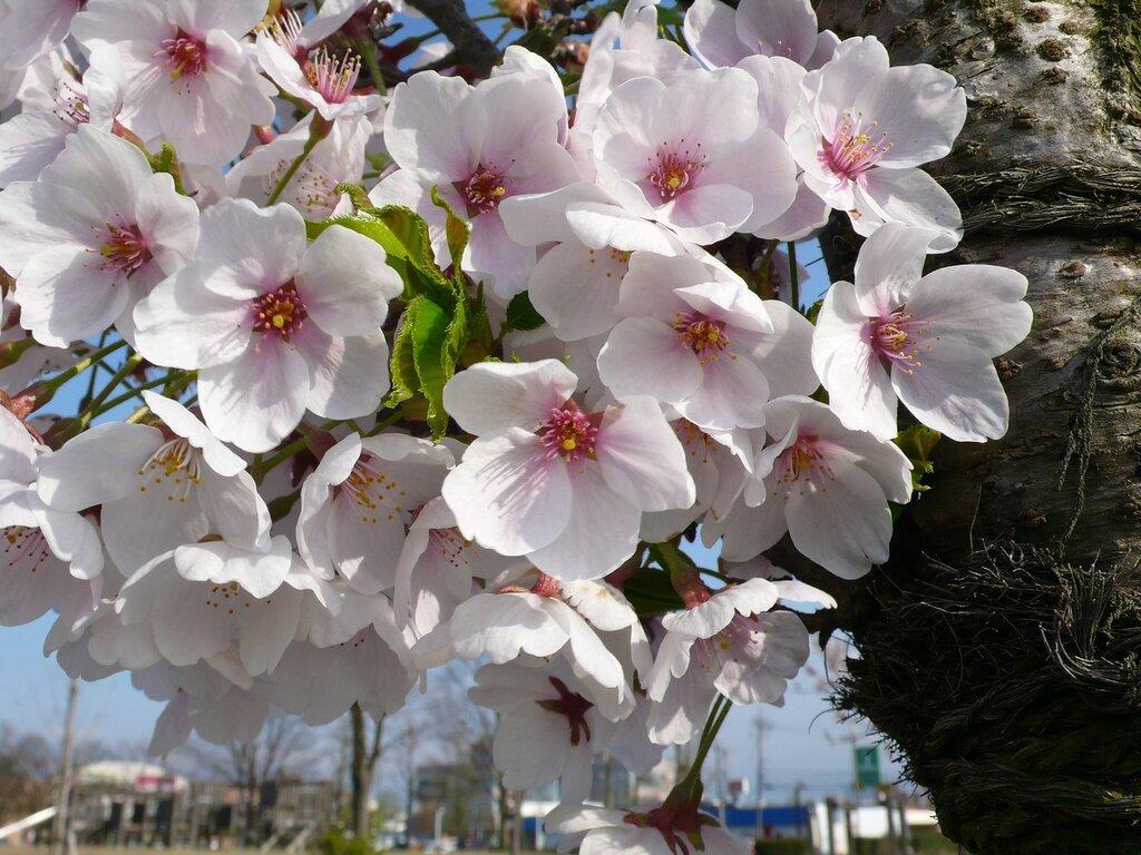 Цветение Сакуры, Тояма, Япония
