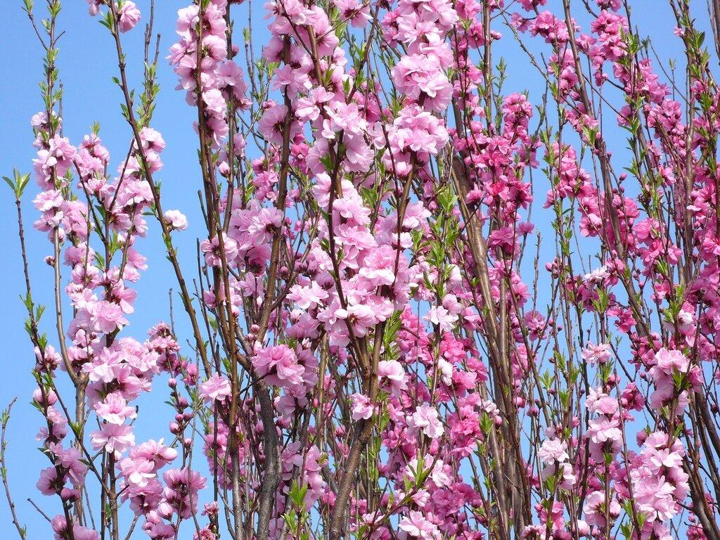 Пришла весна, пора цветения,  Япония,
