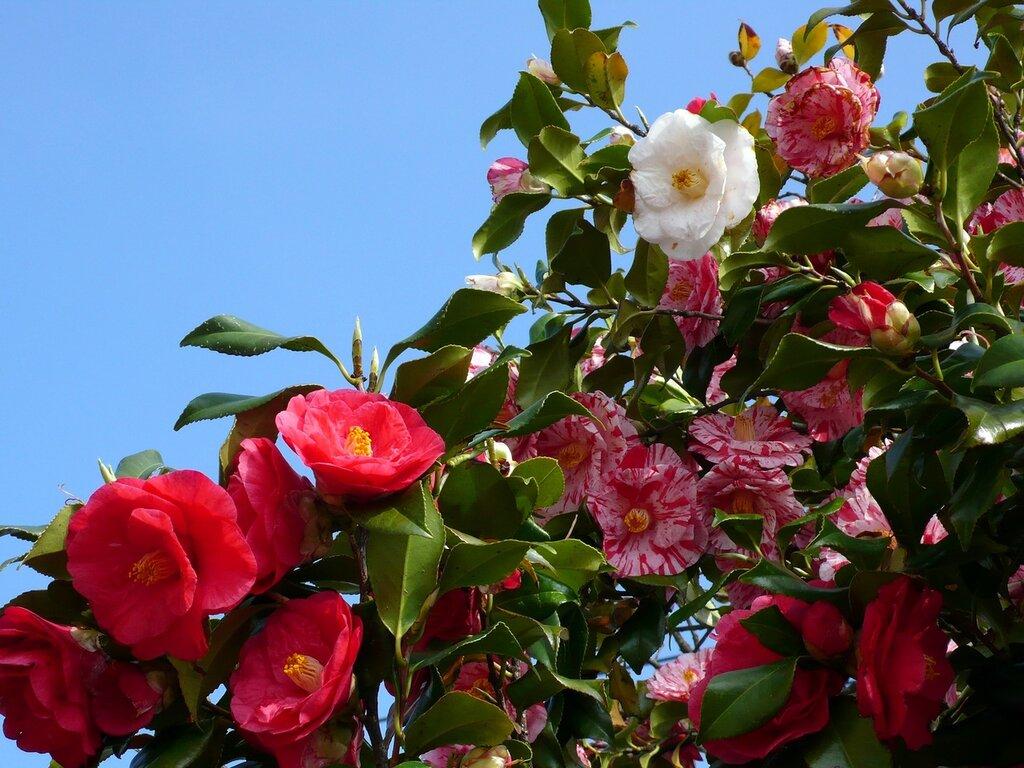 Камелия. Пришла весна, пора цветения, Тояма, Япония,