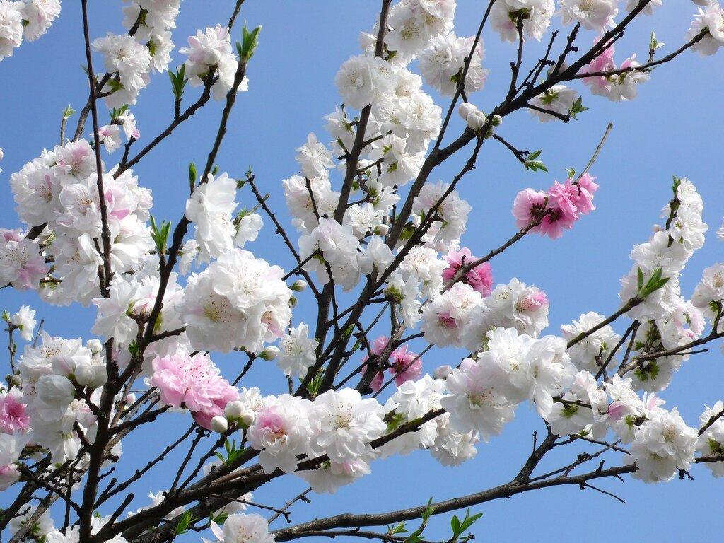 Пришла весна, пора цветения, Тояма, Япония,