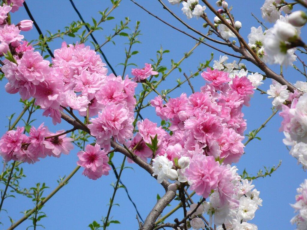 Весна в Японии — период буйства красок.