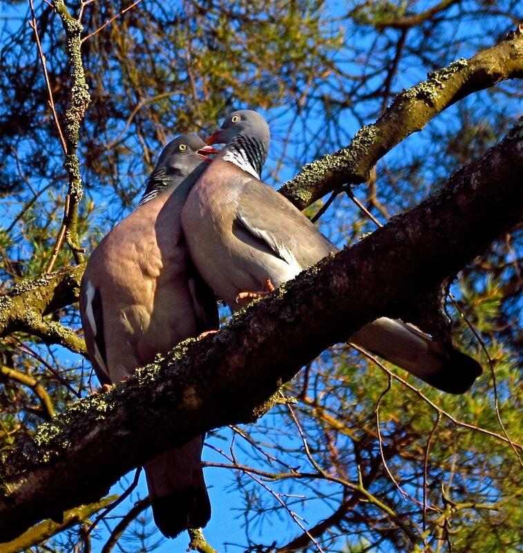 Вяхирь-голубь с милой голубкою