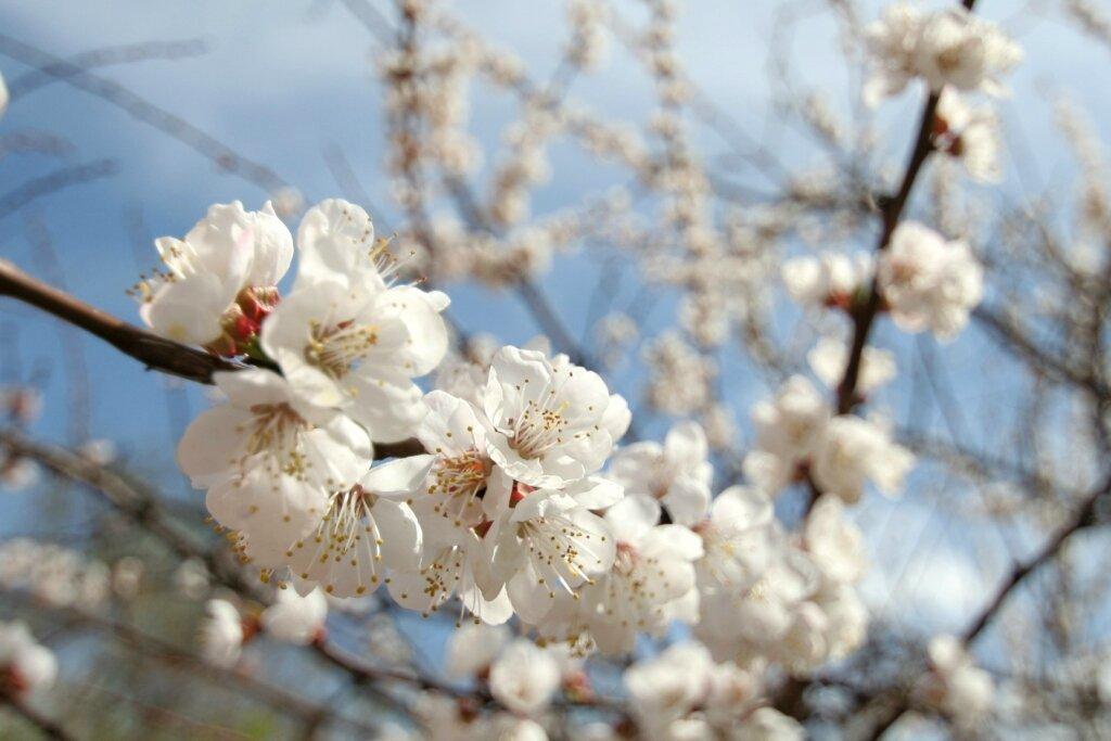 абрикос, цветы, апрель