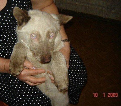 Собака сиамского окраса с голубыми глазами