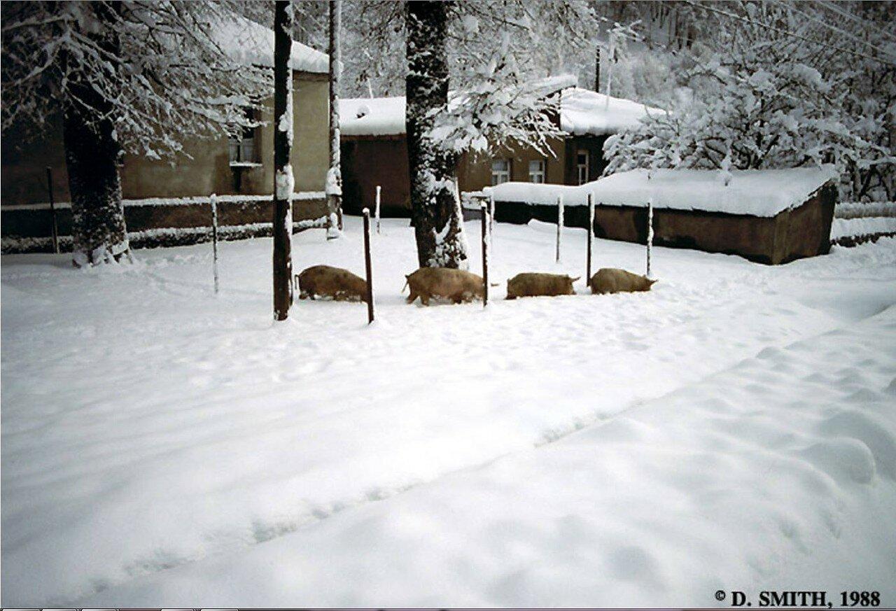 Пасанаури. Четыре свиньи пробираются через снег на Рождество