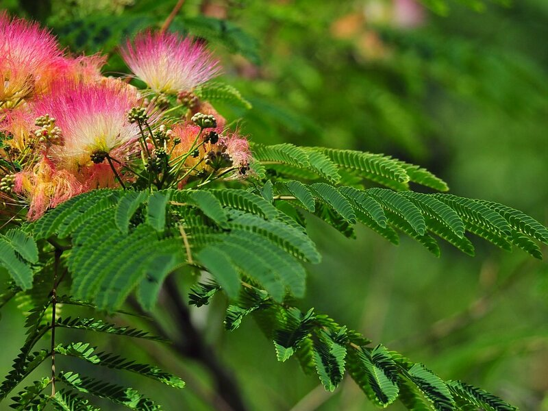 Albizzia Julibrissin Leguminosae, Family: Mimosaceae, Common name: mimosa, Synonym: Persian silk tree, Mimosa Tree...