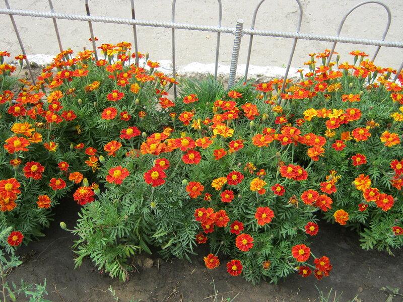 Когда сажают многолетние цветы рассадой 965