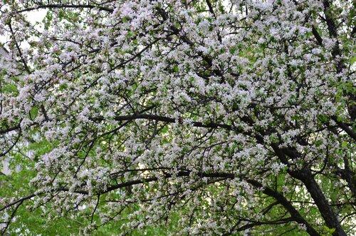 Цветущей яблони каскады...