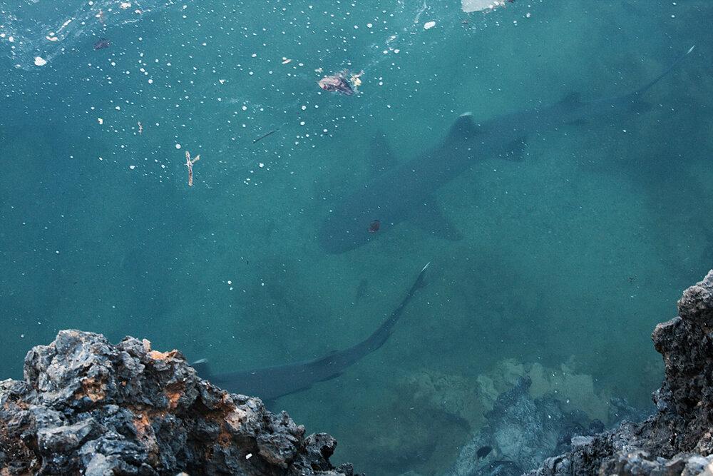Рифовые акулы (Triaenodon obesus)