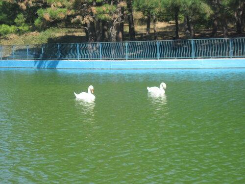 пруд, лебеди