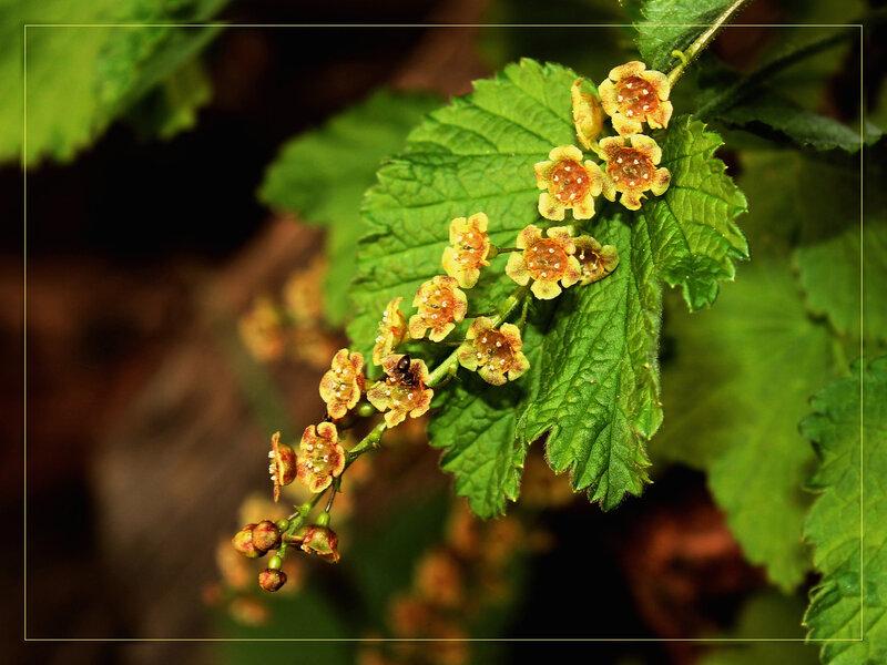 Муравей закопался в цветке смородины. цветы.  VladimirZh. насекомые. природа. весна. флора. листья. смородина черная.