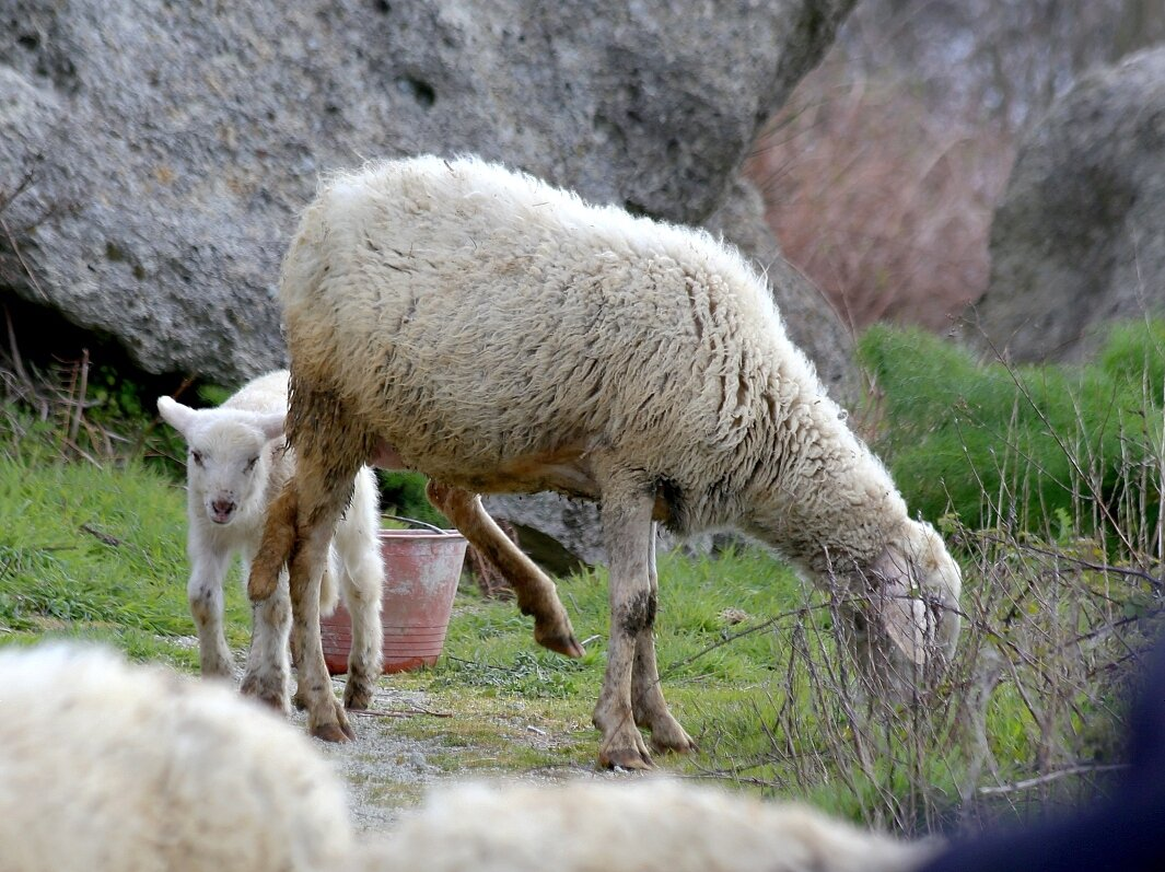Ischia, mount Epomeo. Sheep.