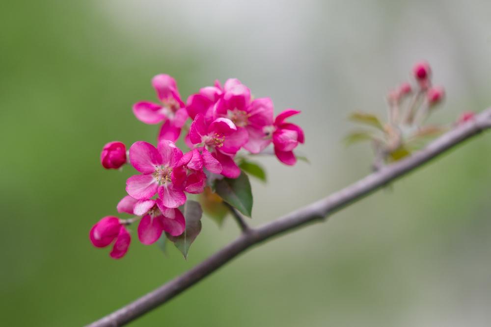 Яблоня пурпурная