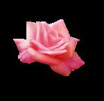 «Oh_Rose»  0_87862_ee1e273e_S