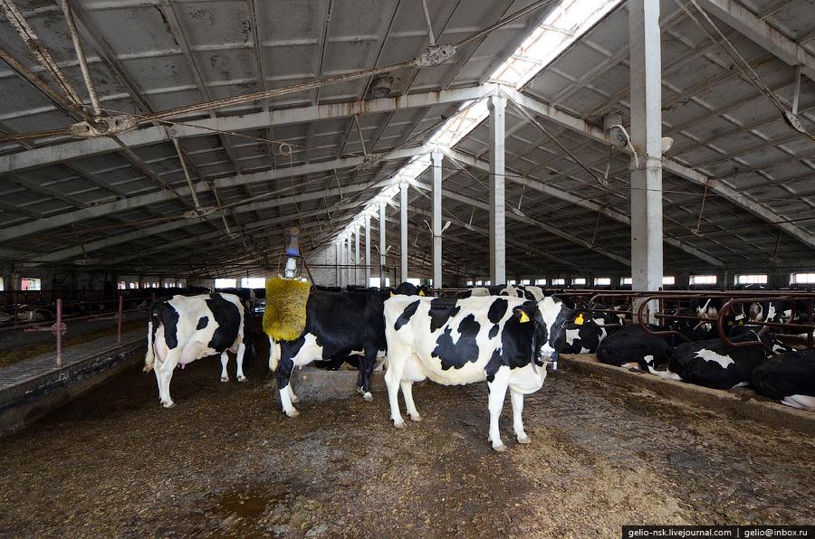 Как производят молоко