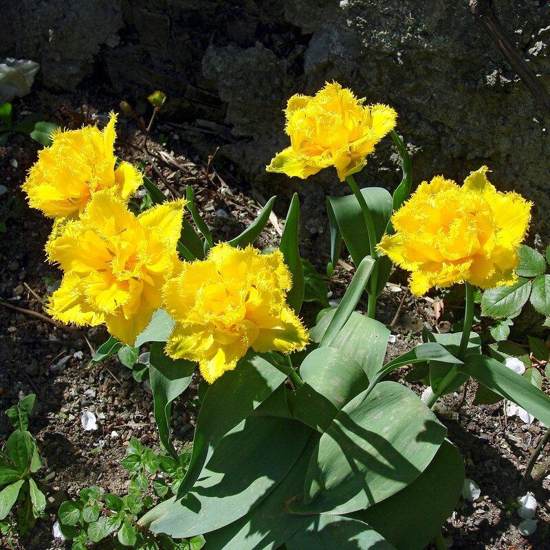 Крым,весна,Людочкин сад,цветы,тюльпаны