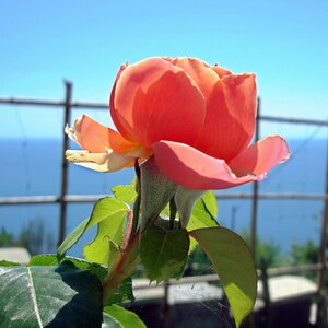 Крым,весна,Алупка,Людочкин садик,розы