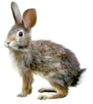 Зайцы, кролики