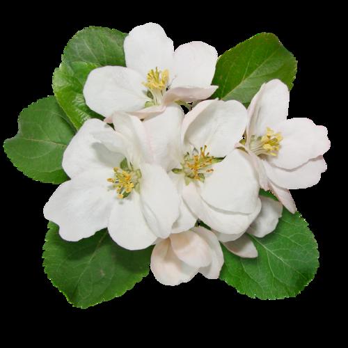 Цветы яблони для детей
