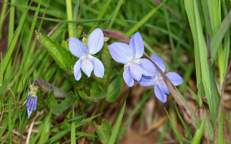 Фиалка болотная (Viola palustris)