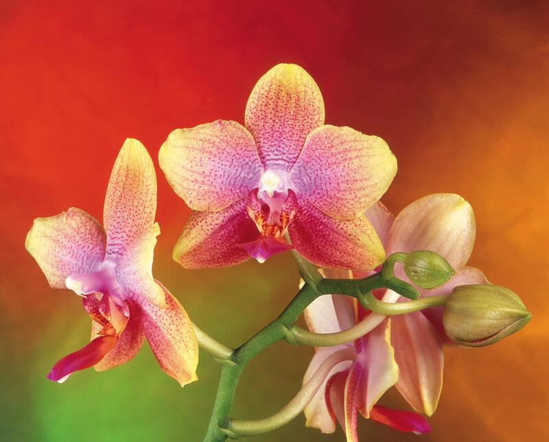 выращивание комнатных орхидей.  Комнатные цветы.