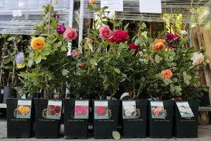 Саженцы роз Austin в горшках 2012