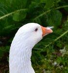 Жизнь гусей