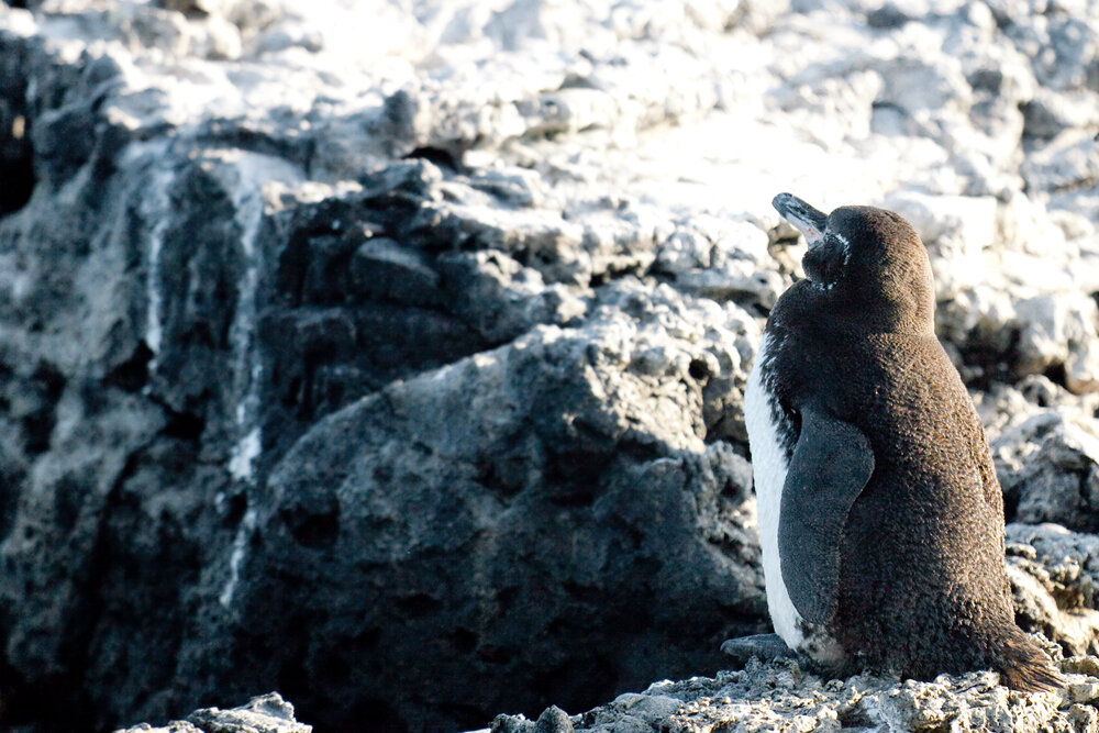 Галапагосский пингвин (Spheniscus mendiculus)