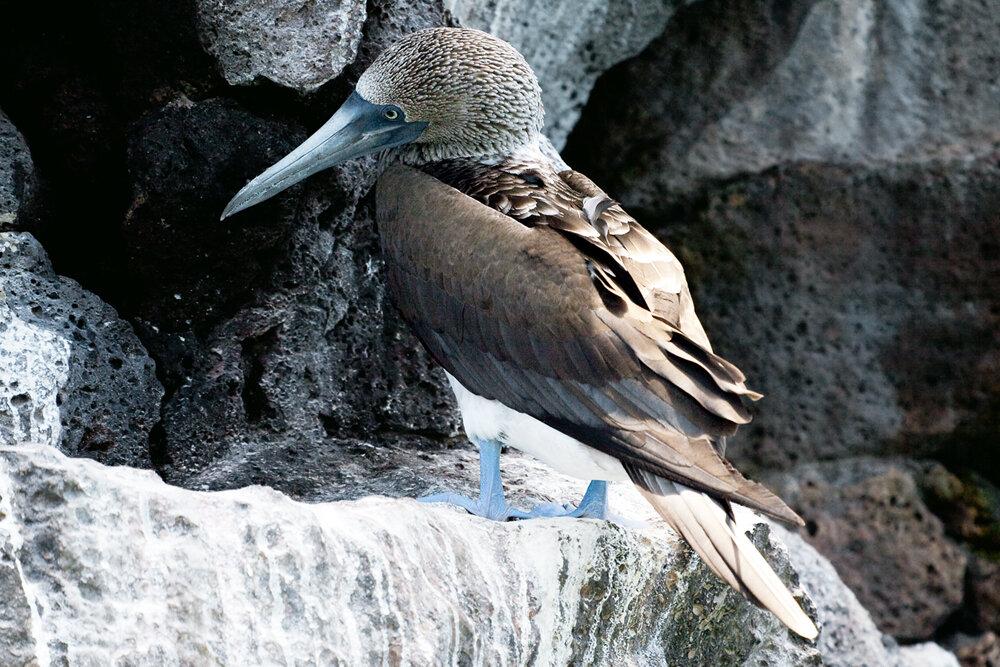 Голубоногая олуша (Sula nebouxii)