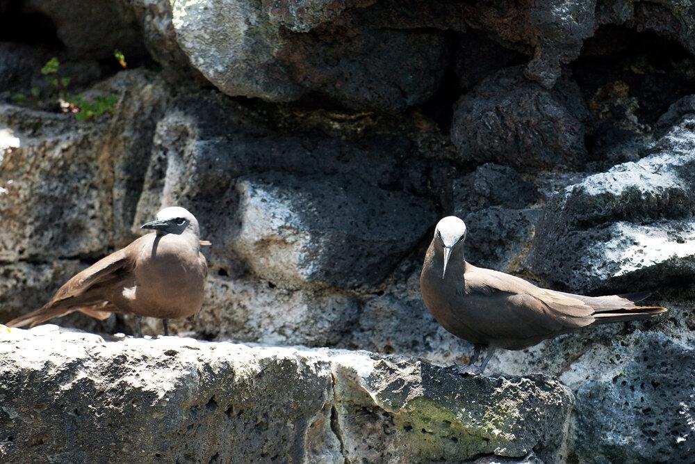 Магелланова чайка (Anous stolidus)