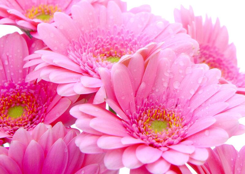 Flowers — gerbera Цветы
