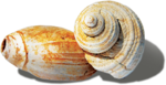 ldavi-littlefishiisland-shell11.png