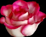 Carena Pink Gerbra 21.png