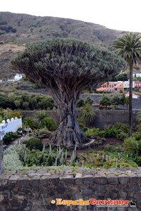 Драконовое дерево, Тенерифе / El Drago Millenario, Icod de los Vinos, Tenerife