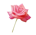 «Oh_Rose»  0_87860_3b02dceb_S
