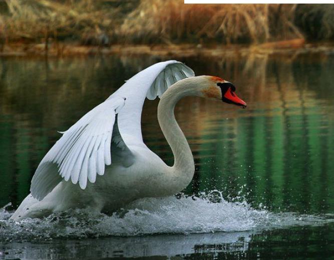 клипарт лебеди