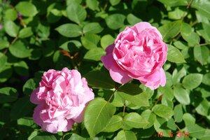 Сколько у розы должно быть листочков