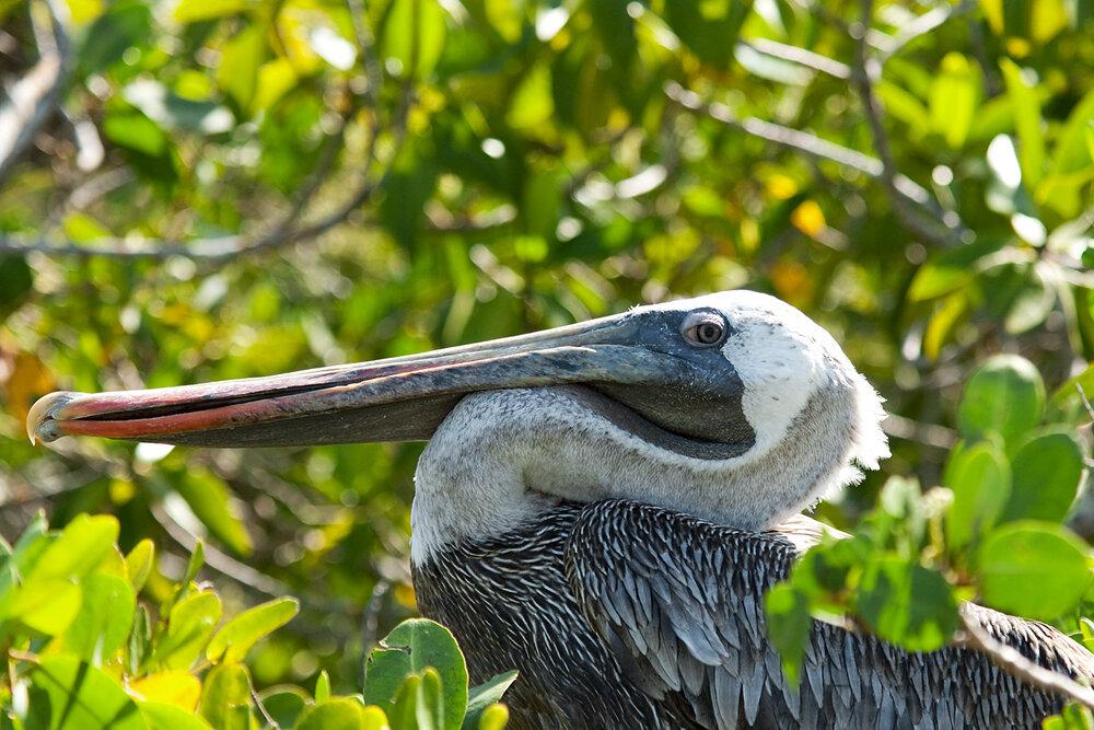 Американский бурый пеликан (Pelecanus occidentalis)