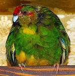 Новозеландский попугай Какарики