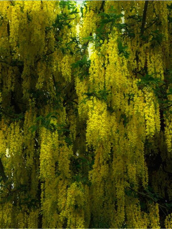 Бобовник-Золотистый дождь