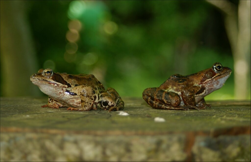 Лягушки подружки.