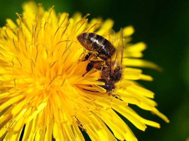 пчела собирает нектар и пыльцу с одуванчика