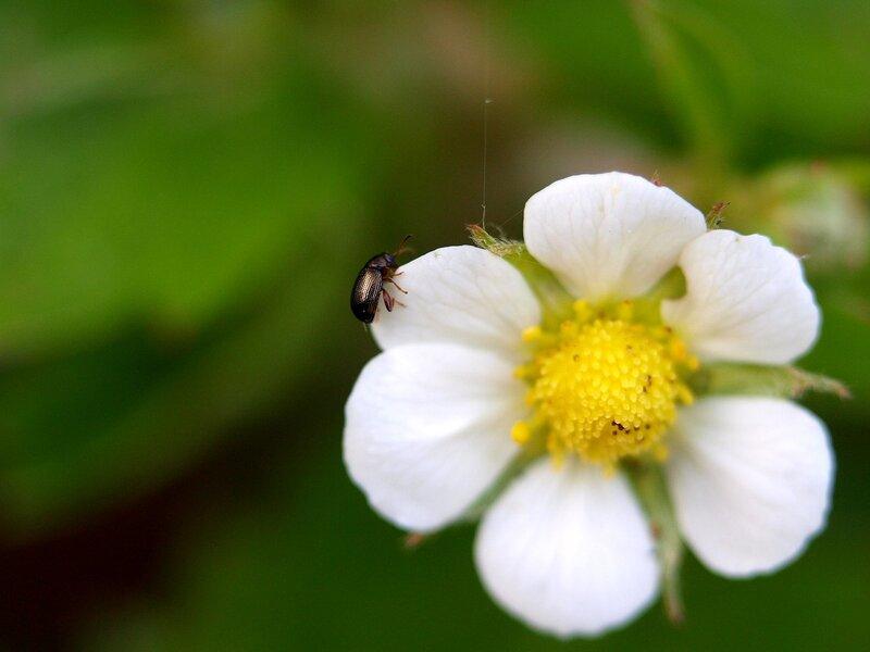 цветок земяники с маленьким жучком