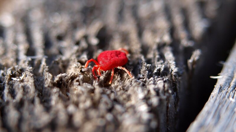 маленький красный земляной бархатный клещик (клещ-краснотелка)
