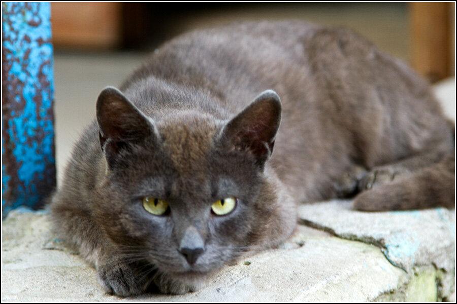 Кашинский кот