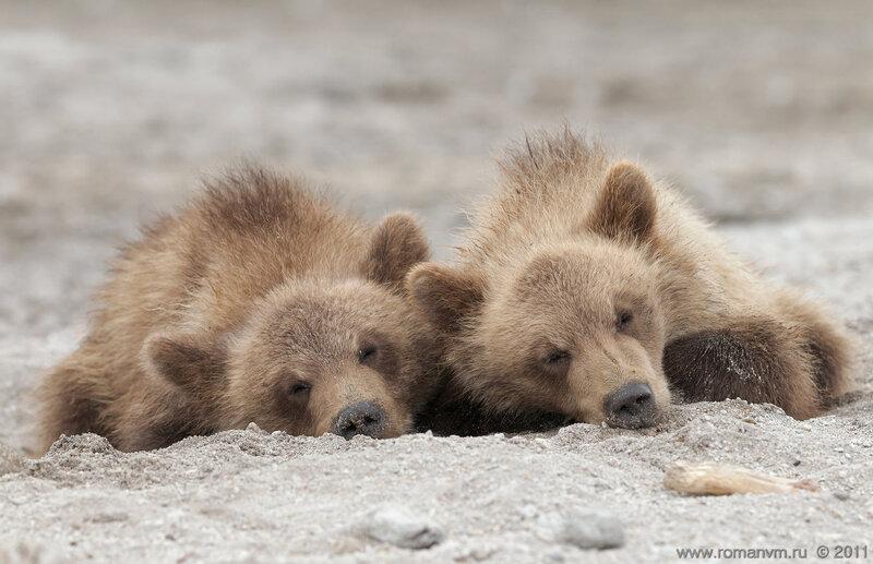 Спят усталые мишутки...