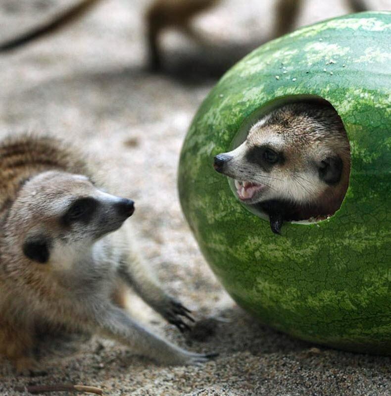 животные и арбуз