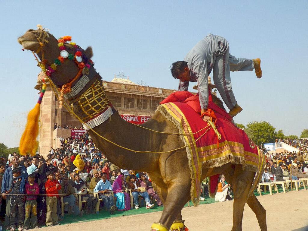 Camel acrobatics, Bikaner Camel Festival Photo: Steve Hoge