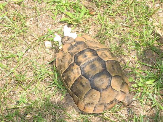 черепаха ест олеандр