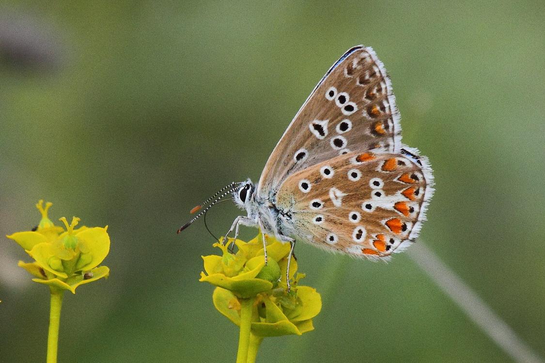 Голубянка красивая (Polyommatus bellargus) (Lysandra bellargus)